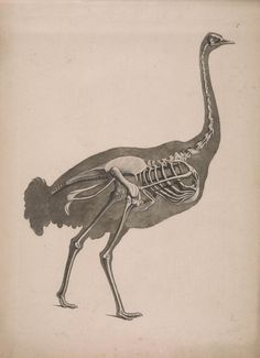 19th century taxonomy illustrations reveal the strange beauty of skeletons