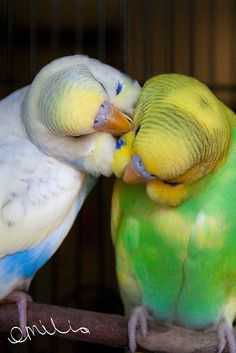 Budgies at home  I'd like to get a couple of budgies again