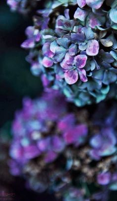 I am just so truly in love with hydrangeas