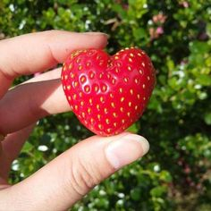 Last year I grew a heart shaped strawberry. Here's to this year's strawberry crops! Aesthetic Food, Pink Aesthetic, Disney Aesthetic, Nature Aesthetic, Aesthetic Indie, Aesthetic Vintage, Heart In Nature, Kawaii, Strawberry Shortcake