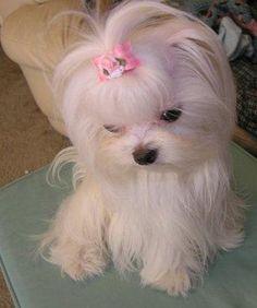 Sweetest little Maltese girl.