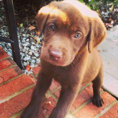 Chocolate lab puppy #luke