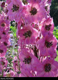 Hybrid Larkspur, Delphinium 'Rosemary Brock' (Delphinium x hybrida)