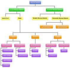 Organisation of Nervous System