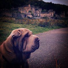 • #fudgepei   #sharpei #sharpeis #sharpeiclub #sharpeilovers #sharpeisofinstagram #doggy #puppy #beautiful #bestfriend #woofwoof #goodlooking #fatty