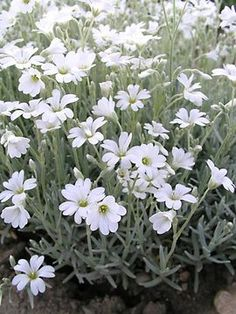 Olympia (Snow In Summer, Starry Grasswort) Cerastium tomentosum 'Snow in Summer'—a beautiful ground cover and butterflies love it!Cerastium tomentosum 'Snow in Summer'—a beautiful ground cover and butterflies love it! Moon Garden, Dream Garden, Flowers Perennials, Planting Flowers, Flower Gardening, Flowers Garden, White Flowers, Beautiful Flowers, Silver Carpet