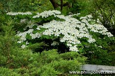 Viburnum 'Shasta' Viburnum grows quickly, can be cut back dramatically, and will grow aggressively the following year.