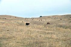 Ein Blick auf die Morgan Ranch in Burwell Nebraska. Die Rinder haben endlos viel Platz - Mehr Details gibt's im Blogartikel auf baconzumsteak.de  - #gutesfleisch #ottogourmet #morganranch #burwell #nebraska #omaha #foodblogger_de #bbqblog #fleisch #steaks #steak #wagyu #blackangus #hereford #beef #meat #carne #gaucho #cowboys #gourmet #delish #bloggerontour #blogger