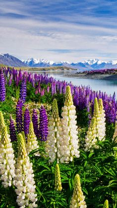 Beautiful lupine with a vista..♡