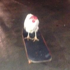 Rooster riding a skateboard XD Bedroom Wall Collage, Photo Wall Collage, Picture Wall, Animal Memes, Funny Animals, Cute Animals, Photographie Indie, Photocollage, Cursed Images