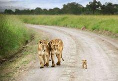 Lion wallpaper background