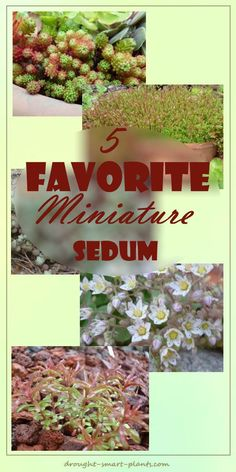 5 Favorite Miniature Stonecrop - perfect for fairy gardens and landscapes... Gardening | Succulents