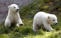 Twin polar bear cubs Nela and Nobby play outside their enclosure at Tierpark Hellabrunn zoo in Munich