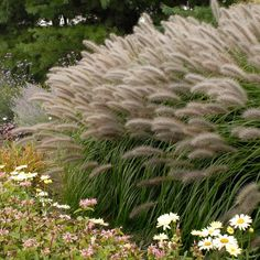 Switch grass #39;Red Head' aptly describes the smoky red bottlebrush plumes of this Pennisetum.
