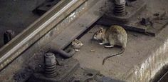 Image result for rats