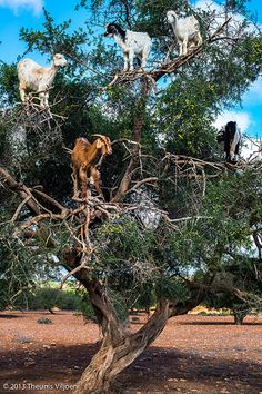 Goats growing on Trees - II -    Goats grazing on Argan Trees...