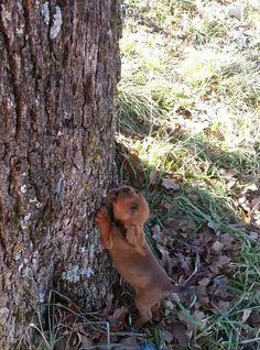 Baby redbone puppy, already treeing!