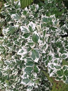 Wintercreeper (euonymus fortunei var radicans): Creeping or climbing evergreen. Annual Plants, Plant Sale, Evergreen, Shrubs, This Or That Questions, Climbing, Garden, Garten, Mountaineering