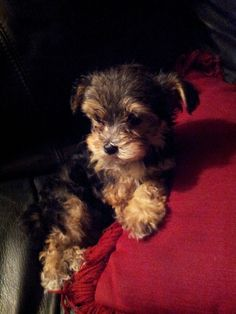 The cutest toy Yorkie poo in the world Shipoo Puppies, Yorkie Poo Puppies, Toy Yorkie, Yorkies, Cute Little Puppies, Cute Puppies, Dogs And Puppies, Cute Dogs, Puppy Crafts
