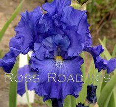 Blue Suede Shoes - Tall Bearded Iris - Schreiner