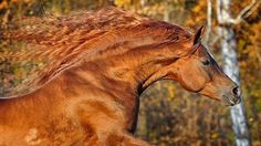 Arabian Horse Arabian Horse Show - Western Competition Egyptian Stallion Breeding PIntabians 3