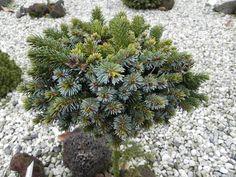 Picea jezoensis 'Hroch' Edwin Smits
