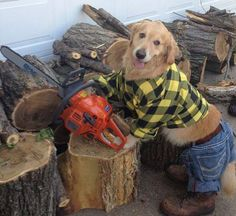 Bailey The Golden Retriever Is chopping up some wood for the fire. Always helping out