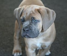 Cane Corso- love this breed but hard to find here in east tn