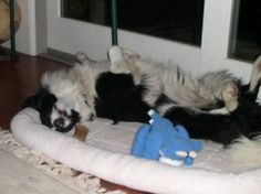 border collie sleeping