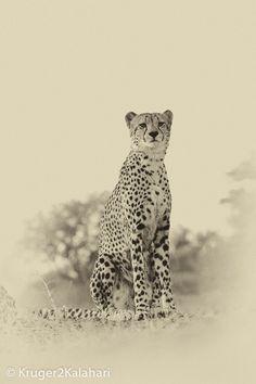 Photographing Cheetahs - hints and tips for capturing photographs of cheetahs in the African parks of Kgalagadi, Madikwe, Pilanesberg, Etosha and Kruger National Park Cheetah Tattoo, Cheetah Print, African Wild Dog, African Safari, Kruger National Park, National Parks, Cheetah Pictures, Circus Crafts, Cheetahs