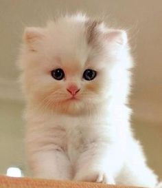 Chubby little kitten