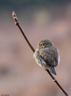 """theperfectworldwelcome: """"terraspirit: """"Northern Pygmy Owl by mikeo765 """" Beautiful !!! \O/ """""""