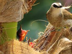 Bulbul Bird Bird Feeders, Yellow, Outdoor Decor, Animals, Animales, Animaux, Animal, Animais, Teacup Bird Feeders
