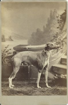 c.1880s cabinet card of elegant greyhound standing like a statue in front of a fanciful, painted photographer's backdrop. Photo by Parker & Co's Helio-Art Studio, Temple Block, Los Angeles, Cal. From bendale collection
