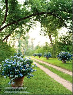 Hydrangea in planters..my!I just love this idea....will do it soon