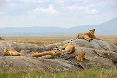 Savanna Animals, Baobab Tree, Serengeti National Park, Ostriches, Baboon, Cheetahs, Ivory Coast, Cute Funny Animals, Zebras