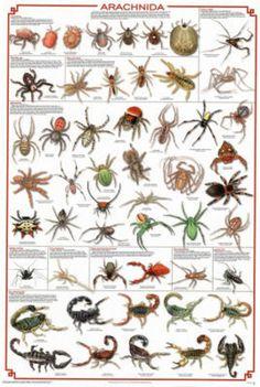 arachnida spider educational identification chart