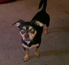 This is my Zeus, 1year old Chihuahua Min Pin