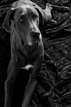 Dixie the Great Dane by SabinaPaulPhotography.com