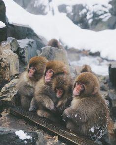 So cute! Babies of the Snow Monkey. Jigokudani Monkey Park, Nagano. Japan
