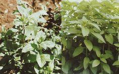 Peluang Budidaya Mentha (Tanaman Mint) - Mentha Plant Cultivation
