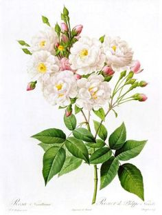 Redouté -rosa-noisettiana-pierre-joseph-redoute