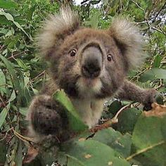 #Pacific Highway decision will see Ballina koalas 'forcibly displaced', says ecologist - ABC Online: ABC Online Pacific Highway decision…