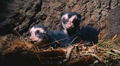 Baby Spectacled Bears