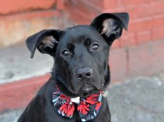 SAFE - 02/20/15 --- Brooklyn Center  BILLY aka TYLER - A1025221  ***RETURNED 02/07/15***SAFER : EXPERIENCED/NO CHILDREN**  NEUTERED MALE, BLACK, LABRADOR RETR MIX, 10 mos OWNER SUR - EVALUATE, HOLD FOR ID Reason NYCHA BAN  Intake condition EXAM REQ Intake Date 02/07/2015,  https://www.facebook.com/photo.php?fbid=963279490351597