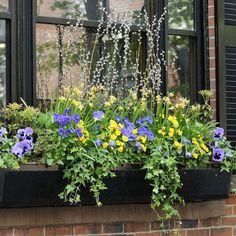 Spring Window Box planting with Pansies and Violas