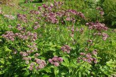 astrantia   Astrantia major 'Primadonna'   Karhula gardens