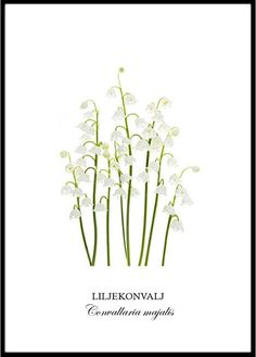Poster - Liljekonvalj