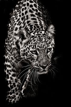 Approaching Leopard by Nathan Schepker. S)    http://vijaytamil.org/2012/10/super-singer-junior-3-17-10-12watch-super-singer-junior-3-17-10-12super-singer-junior-3-17th-october-2012/