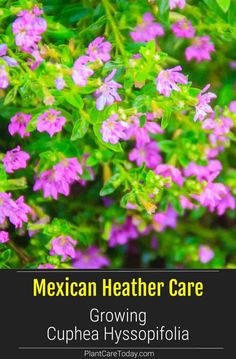 Care Of Mexican Heather: How To Grow Cuphea Hyssopifolia Mexican Heather Plant (Cuphea Hyssopifolia) Heather Plant, Heather Flower, Outdoor Plants, Garden Plants, Potted Garden, Patio Plants, Growing Flowers, Planting Flowers, Gardens